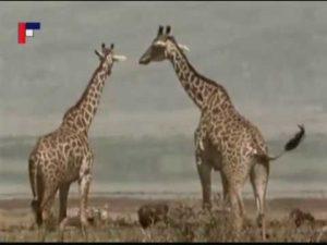 Pa a Pi: Žirafa (rozprávka)